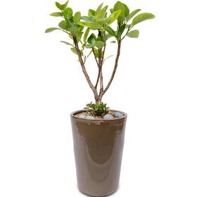 벵갈고무나무1호